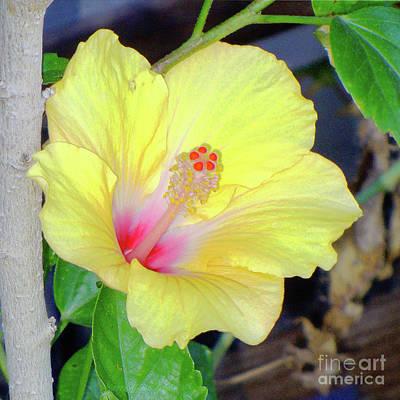 Photograph - Glowing Hibiscus Flower by Afroditi Katsikis