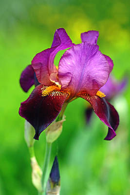 Photograph - Glowing Iris by Debbie Oppermann