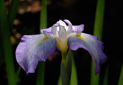 Photograph - Glowing Iris by Marie Hicks