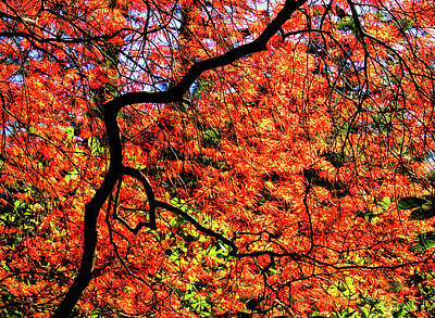 Photograph - Glowing Japanese Maple by Carolyn Derstine