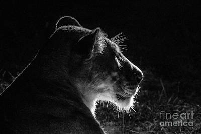 Photograph - Glowing Lioness by Jennifer Ludlum