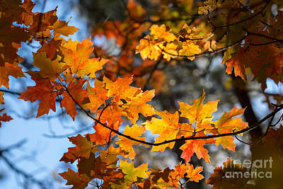 Photograph - Glowing Maple Leaves  by Marianne Jensen