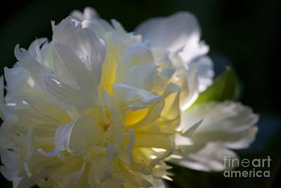 Photograph - Glowing Peony by Terri Thompson