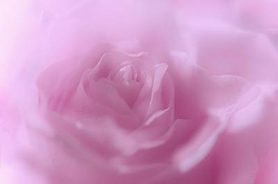 Photograph - Glowing Pink Rose by Jenny Rainbow