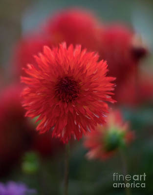 Photograph - Glowing Red Dahlia by Mike Reid