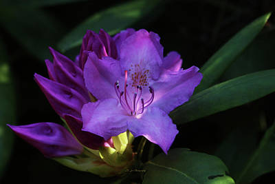 Photograph - Glowing Rhododendron by Jeanette C Landstrom