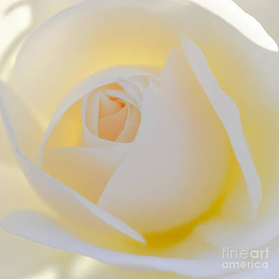 White Rose Photograph - Glowing Rose by Brian Luke