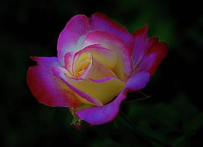 Photograph - Glowing Rose by Karen McKenzie McAdoo
