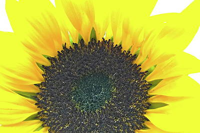 Glowing Sunflower Art Print