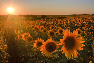 Art Print featuring the photograph Glowing Sunflowers by Scott Bean