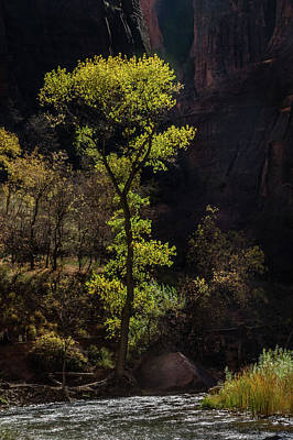 Photograph - Glowing Tree At Zion by James Woody