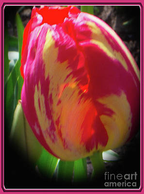 Photograph - Glowing Tulip by Ansel Price