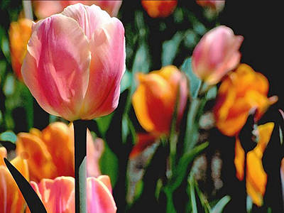 Photograph - Glowing Tulips by Janis Nussbaum Senungetuk