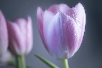 Photograph - Glowing Tulips by Lilia D