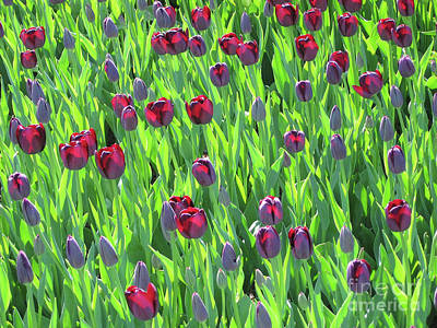 Photograph - Glowing Tulips by Stephen Shub
