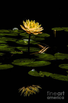 Photograph - Glowing Waterlily by Barbara Bowen