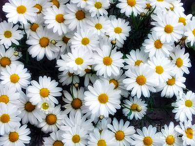 Photograph - Glowing White Daisies In The Sunlight by Joan-Violet Stretch