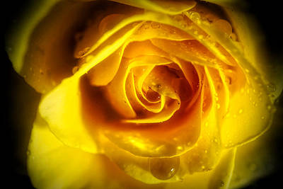 Photograph - Glowing Yellow Rose by Lilia D
