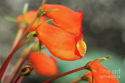 Photograph - Gloxinia Bolivian Sunset by Judy Whitton