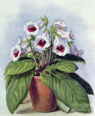 Indoor Still Life Painting - Gloxinia In A Pot by Augusta Innes Withers