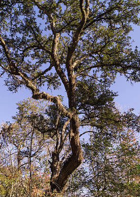 Photograph - Gnarled Live Oak With Moss by MM Anderson