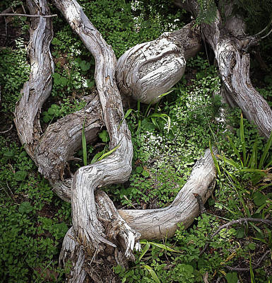 Photograph - Gnarled by Lynn Wohlers