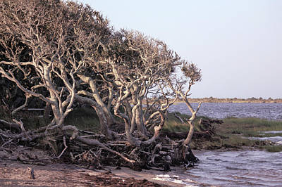 Photograph - Gnarled Oak Trees by Suzanne Stout