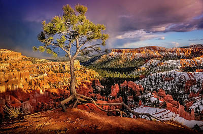 Photograph - Gnarled Tree At Bryce Canyon by Dave Koch