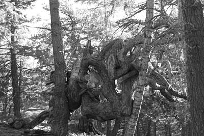 Photograph - Gnarled Tree In Black And White by Diana Chase
