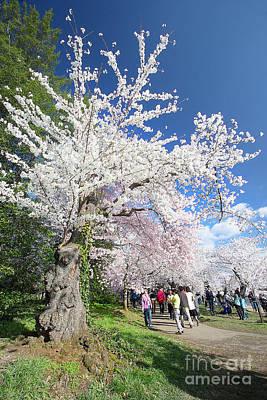 Photograph - Gnarly Cherry Tree by Karen Jorstad