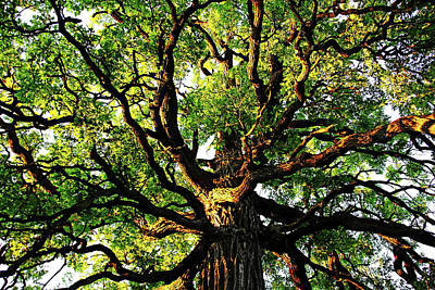 Photograph - Gnarly Oak by Debbie Oppermann