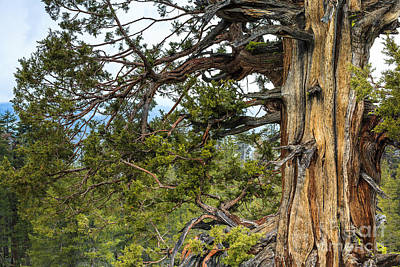 Photograph - Gnarly Old Cedar Tree by Ben Graham