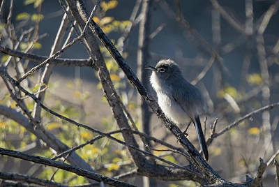 Photograph - Gnatcatcher by Charlie Alolkoy