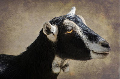 Photograph - Goat  1 by Susan  McMenamin