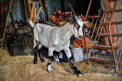 Photograph - Goat At The Barn by Savannah Gibbs