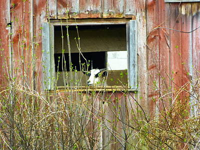 Art Print featuring the photograph Goat In The Window by Donald C Morgan