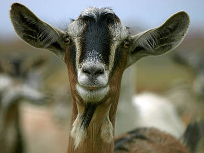 Goat Art Print by James Peterson