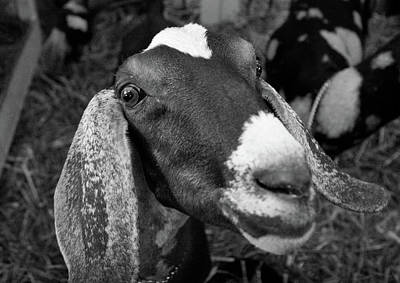 Photograph - Goat by Jenny Mead