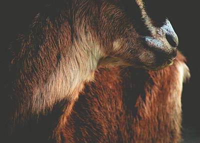Art Print featuring the photograph Goat Love by Viviana  Nadowski