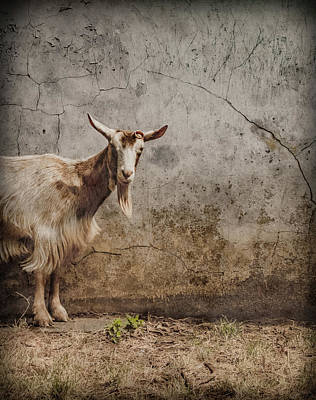Photograph - London, England - Goat by Mark Forte