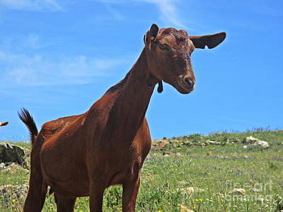 Photograph - Goat Near Mijas by Chani Demuijlder