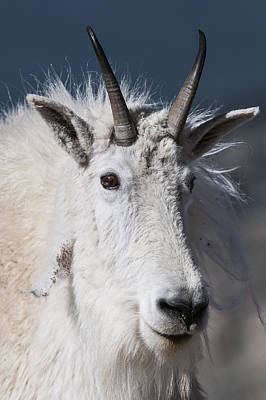 Photograph - Goat Portrait by Gary Lengyel