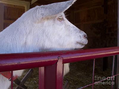 Saanen Goat Photograph - Goat Watching by Ann Horn