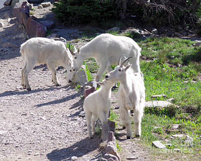 Photograph - Goats Along The Path by Jeff Swan
