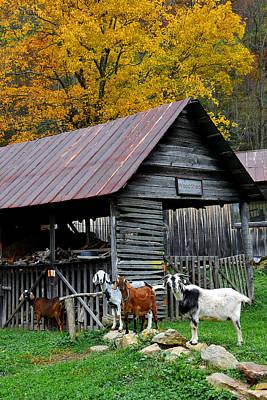 Photograph - Goats At Rose Briar Farm by Alan Lenk