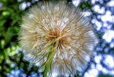 Photograph - Goat's Beard - The Inner Weed 4 by Steve Harrington