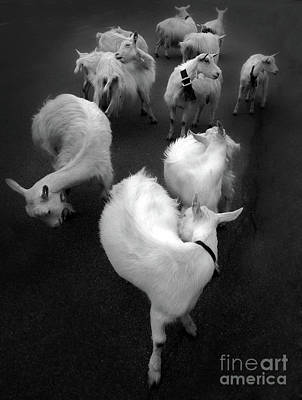 Photograph - Swiss Goats by Gregory Dyer