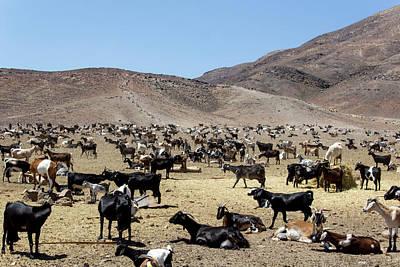 Photograph - Goats In Fuerteventura by Pietro Ebner