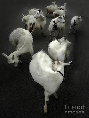 Photograph - Goats In Switzerland by Gregory Dyer