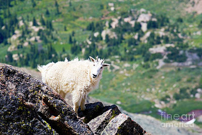 Photograph - Goats On The Mount Massive Summit by Steve Krull